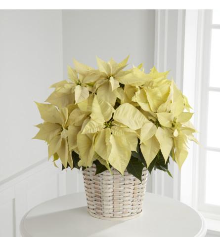 White Poinsettia w/ Basket