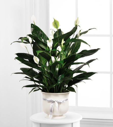 FTD Comfort Planter with Peace Lily