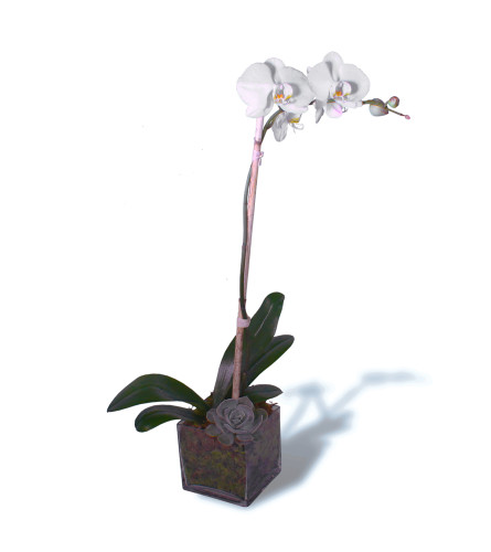 Single Orchid Bloom 2020
