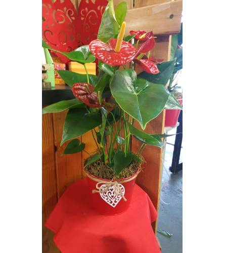 TROPICAL ANTHERIUM BLOOMING PLANT
