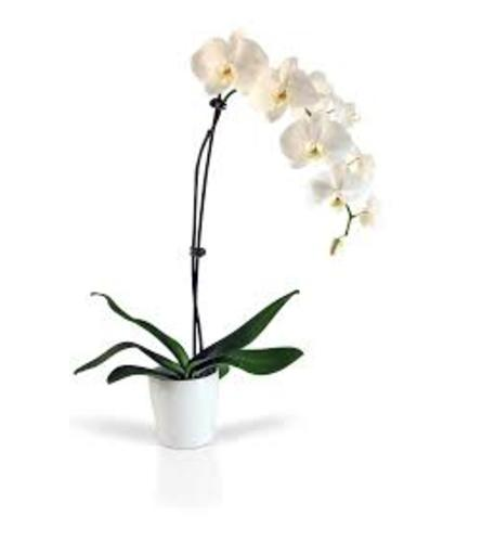 Stunning White Orchid