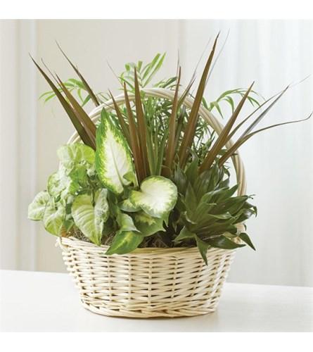 Sympathy Classic Dish Garden Plant