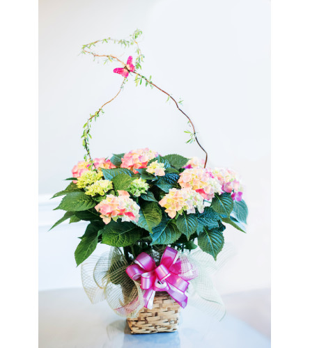 Ellington's Hydrangea (Colors Vary)