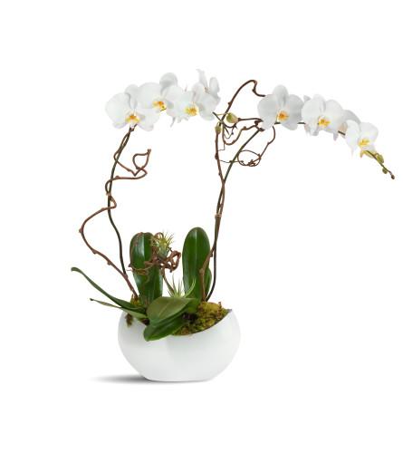 Alabaster Orchids 2020