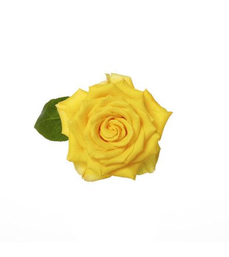 1 Dozen Premium Yellow Roses