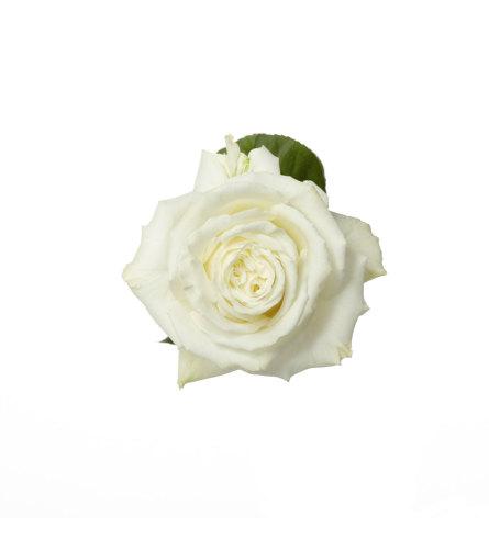 18 Long Stem Premium White Roses
