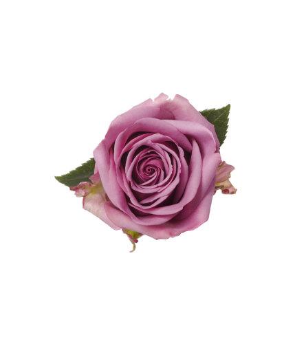 Three Dozen Premium Lavender Roses