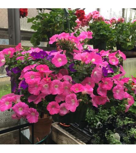 Petunia Hanging Basket (pink / purple)