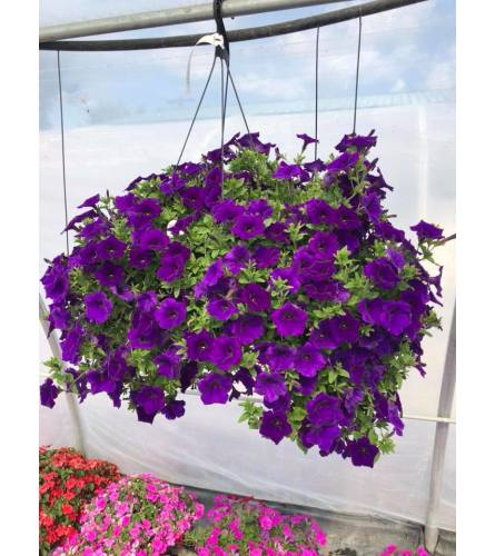 """Mixed 12"""" Hanging Basket with Bow"""