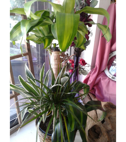 Combo 8 Inch Plant