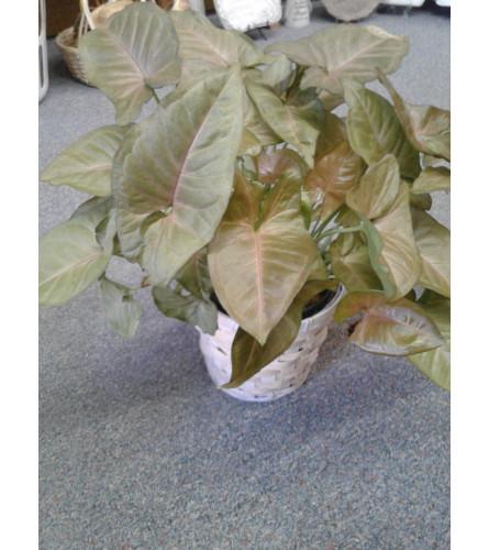 Pink Arrowhead Plant