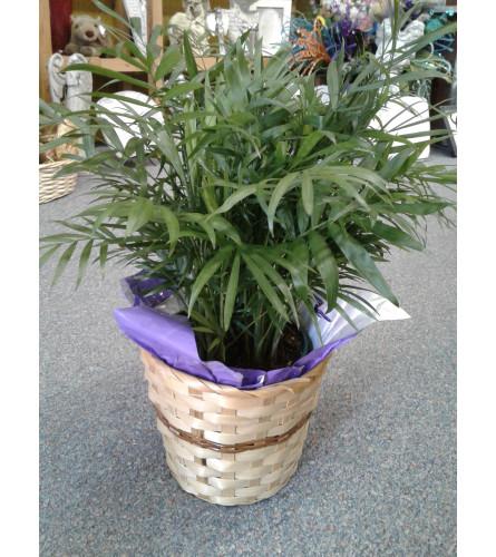 Palm Plant 6 Inch