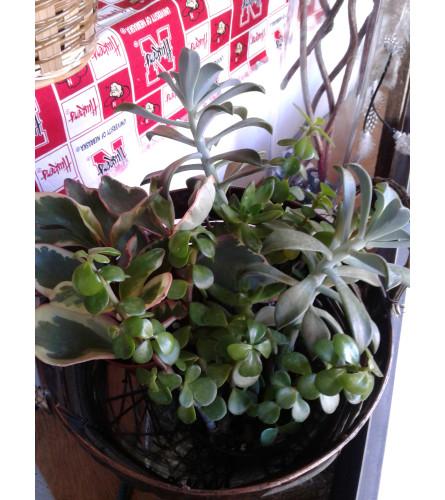 "4"" Succulents"