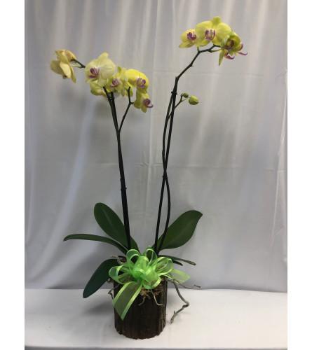 Medium Orchid in Planter