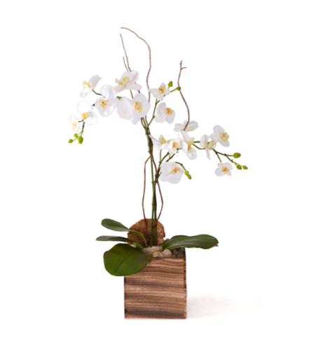 Orchid in square wood planter