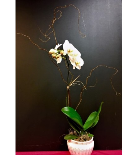 "The ""Moth"" Orchid Plant"