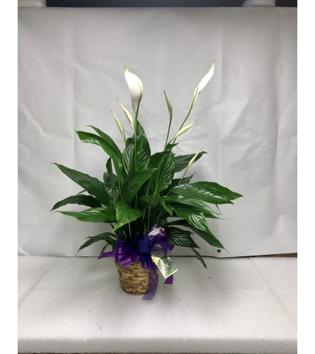 (Spathiphyllum) Peace Lily Plant