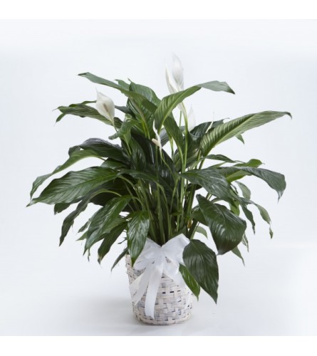 "6"" PEACE LILY IN BASKET WITH BOW"