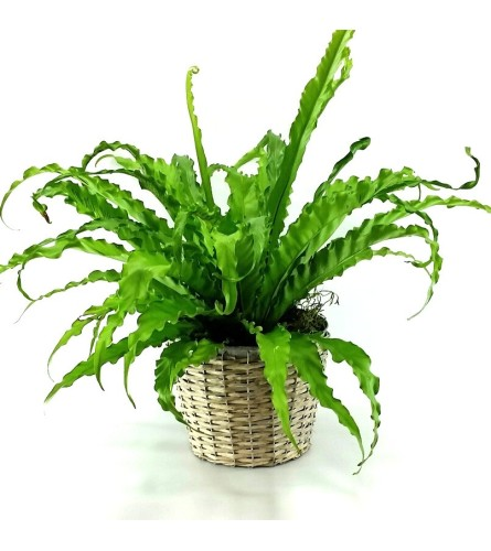 "6"" JAPANESE BIRD NEST FERN IN BASKET"