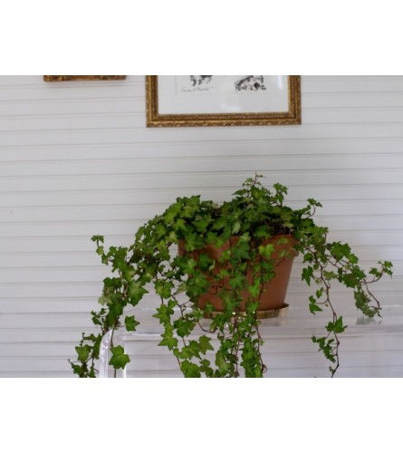 "6"" ENGLISH IVY IN BASKET"