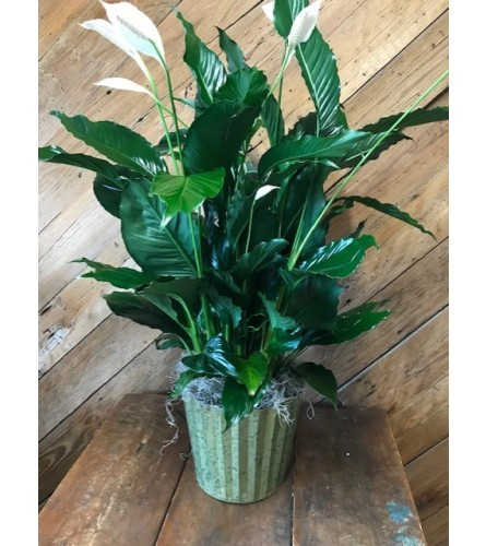 Flowering Peace Lily Plant