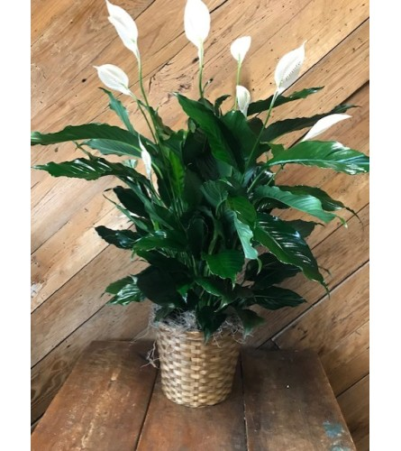 "8"" Flowering Peace Lily Plant"