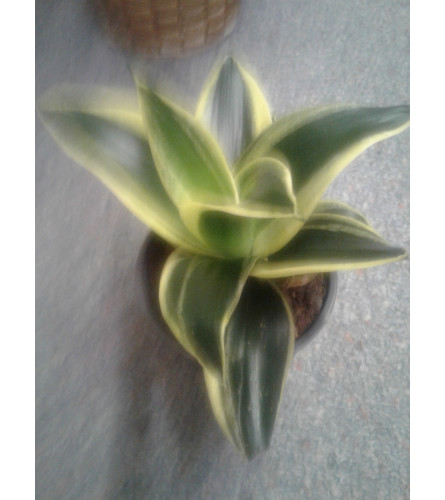 "4"" Contrast Green Succulent"