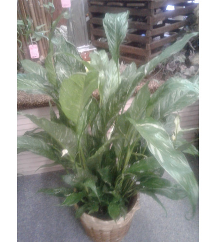 """6"""" Variegated  Peace Lily"""