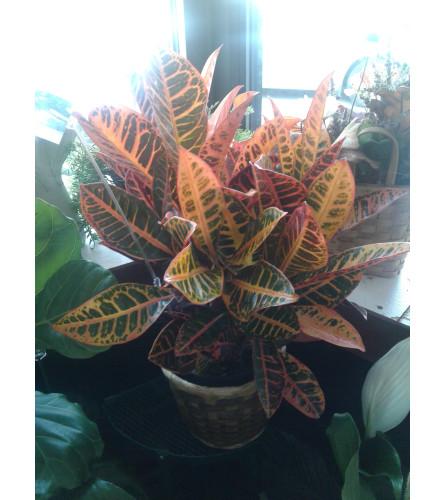 "6"" Red Croton"