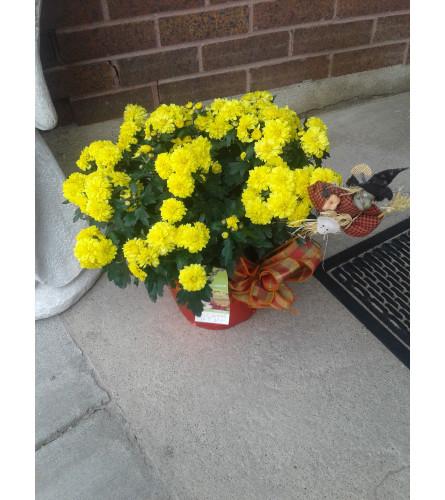 """6"""" Yellow Mum Plant"""
