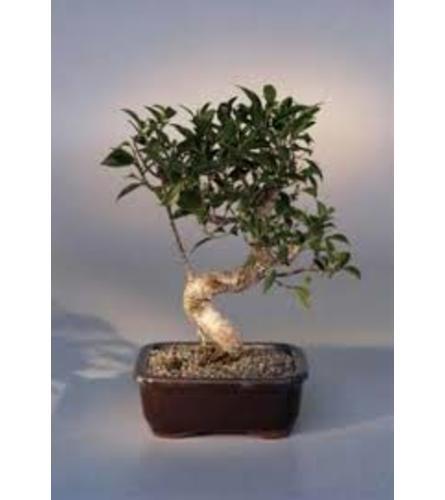 premium bonsai large