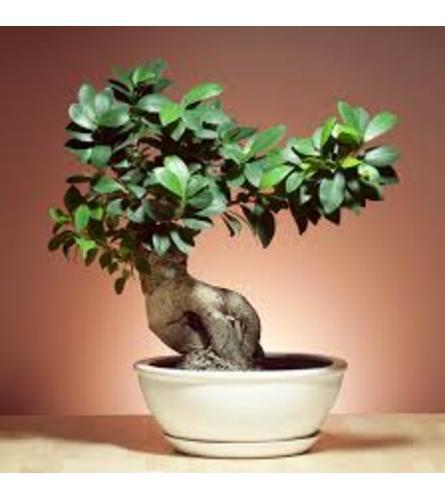 """bonsai 8"""" plant"""