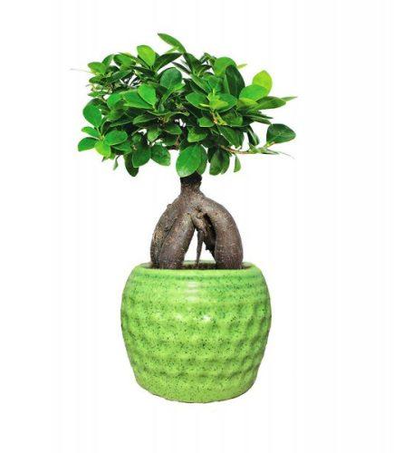 grafter bonsai 01