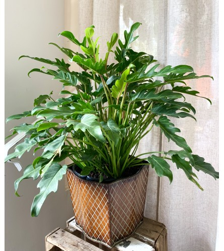 Xanadu Plant