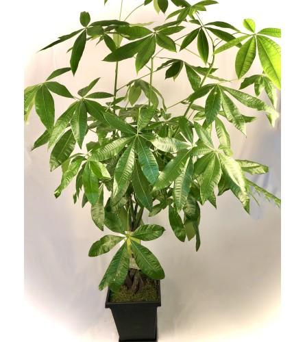 Money Tree in Plastic Pot