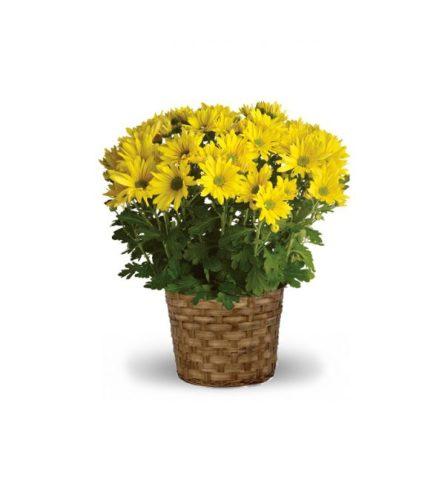 Mum Plant - Colors & Variety Vary