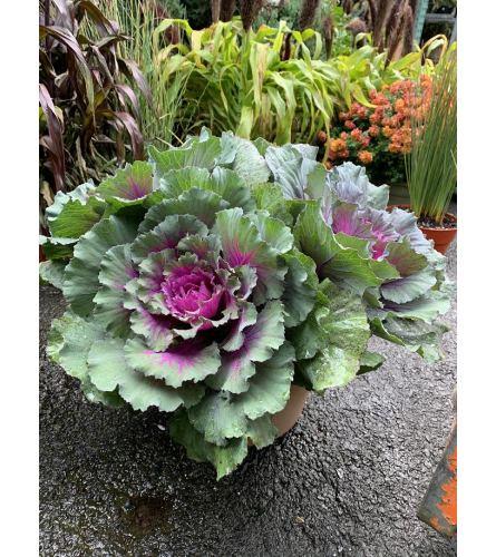 purple cabbage pot