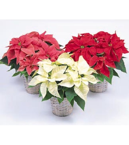 Triple Poinsettia