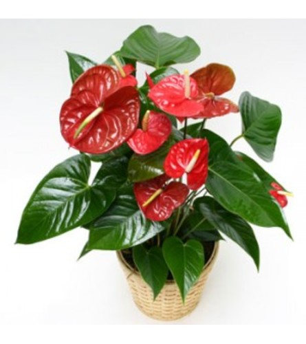 Anthurium in a Basket - (Colors Vary)