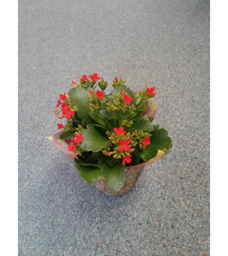 "4"" Red Kalanchoe"