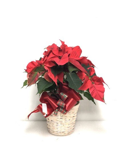 "Christmas Poinsettia 6"" potted or 8"" potted"