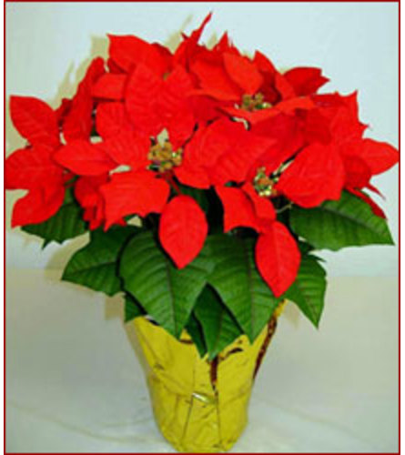 Christmas Poinsettia Red