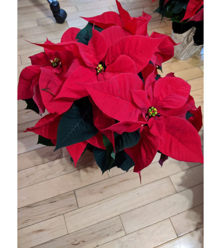 6'' Dressed up Poinsetta Red
