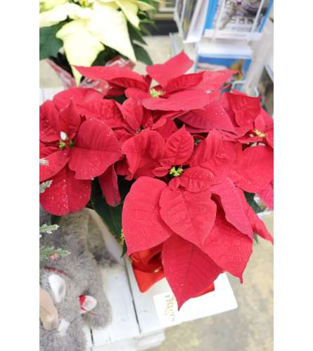 "8"" Poinsettias with Wrap and Bow"