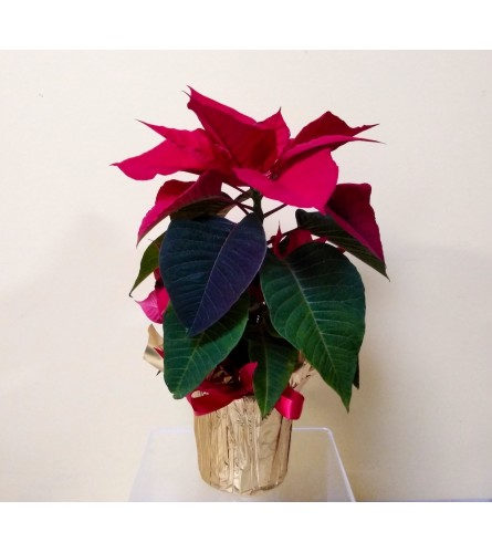 "4"" Red Poinsettia"