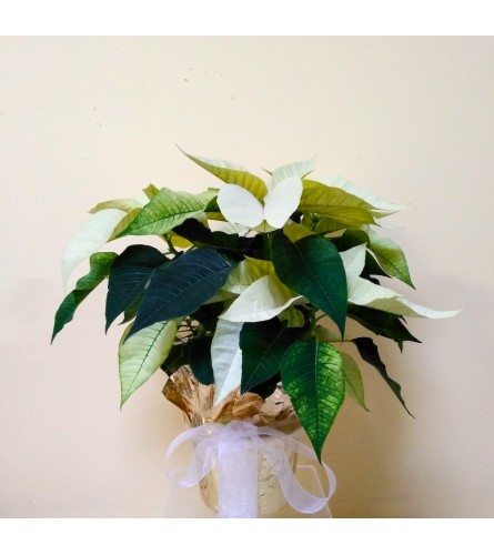 "6"" White Poinsettia"