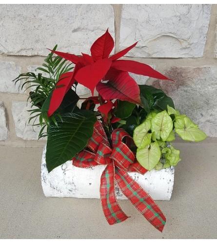 Christmas Poinsettia Birch Planter