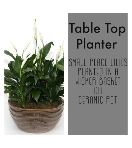 Table Top-Planter of smaller Peace Lilies
