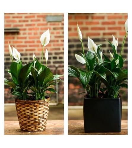 "Spath-Peace Lily Plant-6"" Pot"