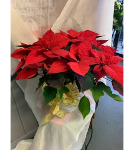 Classic Red Christmas Poinsettia
